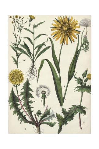 Dandelions in a Variety of Stages Art Print