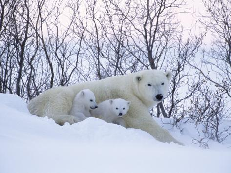 Polar Bears, Mother with Very Young Cubs Just Leaving Winter Den, Manitoba, Canada Stampa fotografica