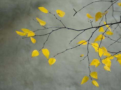 Yellow Autumnal Birch (Betula) Tree Limbs Against Gray Stucco Wall Photographic Print