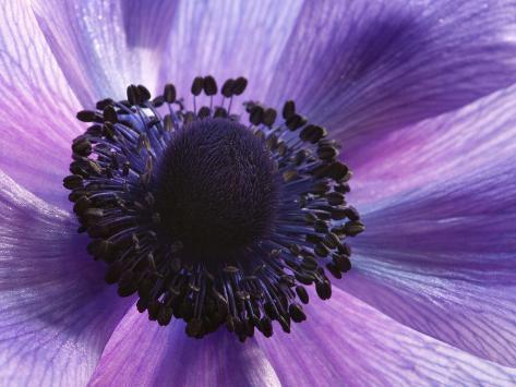 Close Up of a Purple Anemone Flower, Anemone Coronari Photographic Print