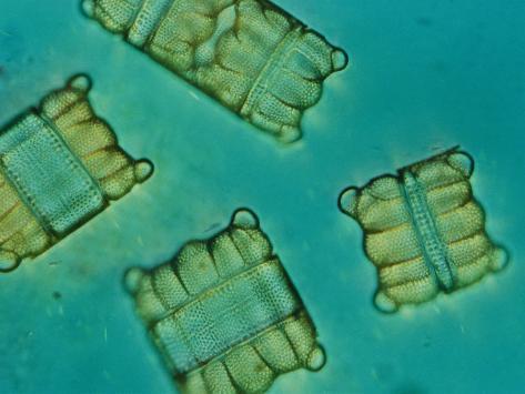 Diatoms Photographic Print