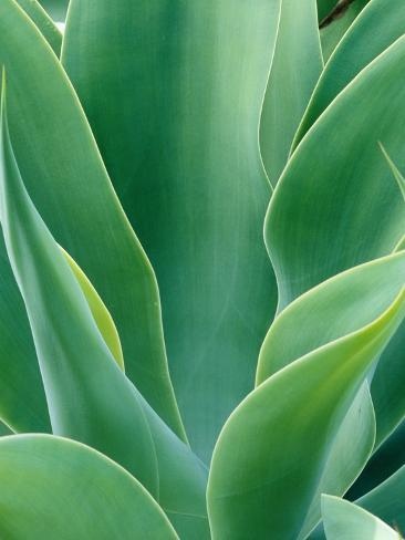 Agave Plant Photographic Print