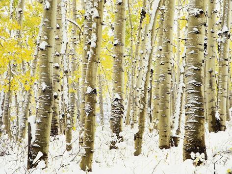 Aspen Grove in Winter Photographic Print