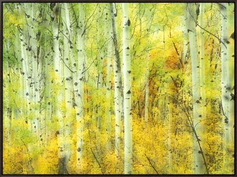 Aspens in Fall, Kebler Pass, Colorado, USA Impressão em tela emoldurada