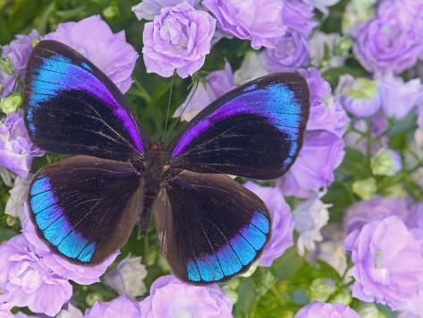 Blue and Black Butterfly on Lavender Flowers, Sammamish, Washington, USA Photographic Print