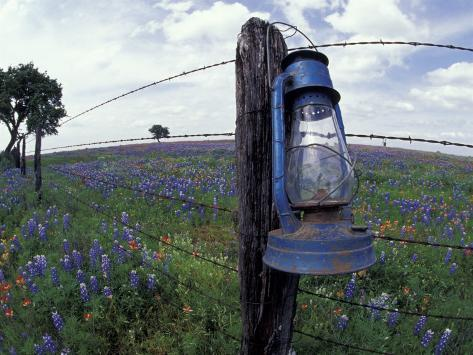 Blue Lantern, Oak Tree and Wildflowers, Llano, Texas, USA Photographic Print
