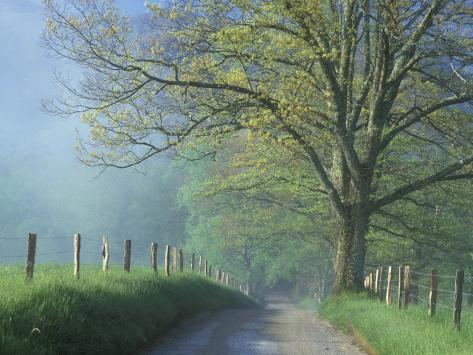Foggy Road and Oak, Cades Cove, Great Smoky Mountains National Park, Tennessee, USA Photographic Print