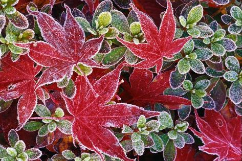 Frost on Japanese Maple and Azalea Leaves Valokuvavedos