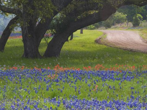 Oak Trees, Blue Bonnets, and Indian Paint Brush, Near Gay Hill, Texas, USA Photographic Print