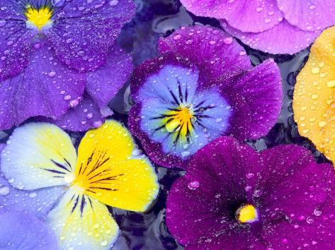 Pansy Flowers Floating in Bird Bath with Dew Drops, Sammamish, Washington, USA Photographic Print