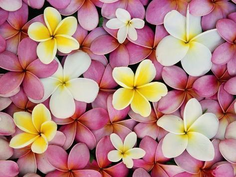 Plumeria Flowers Photographic Print