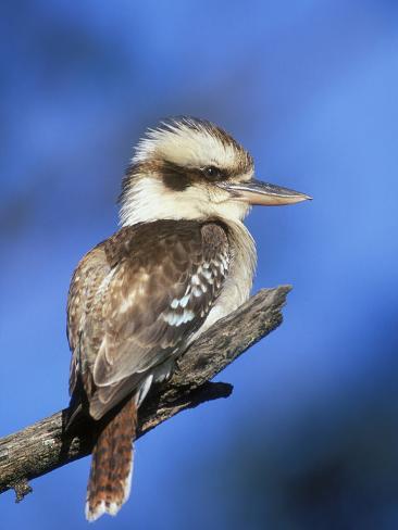 Laughing Kookaburra (Dacelo Novaeguineae), Victoria, Australia Photographic Print