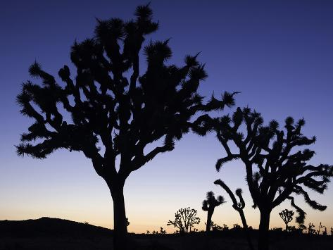 Joshua Trees Silhouetted at Dusk in Joshua Tree National Park, California, USA Photographic Print