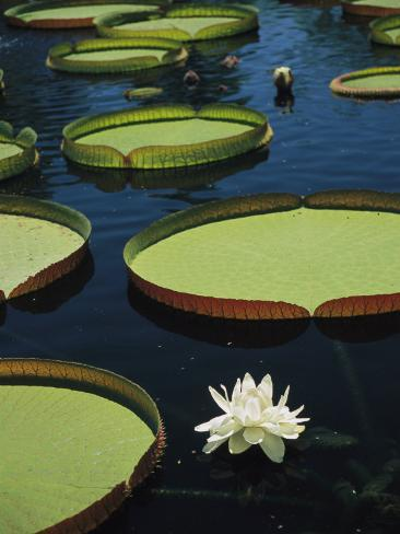 Large Lily Pads and Flowers Float in Calm Water Photographic Print