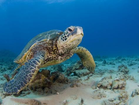 Green Sea Turtle (Chelonia Mydas), an Endangered Species, Hawaii, USA Photographic Print