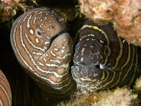 Zebra Moray Eels (Gymnomuraena Zebra), Hawaii, USA Photographic Print