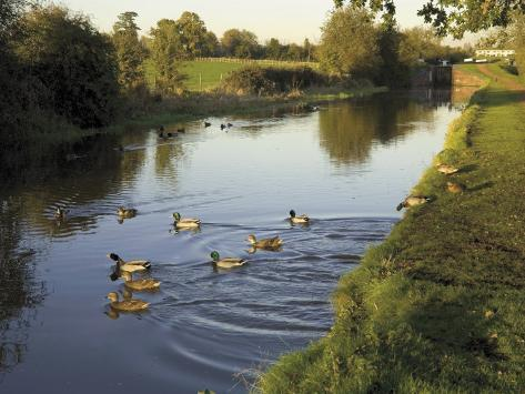 Ducks Swimming in the Worcester and Birmingham Canal, Astwood Locks, Hanbury, Midlands Photographic Print