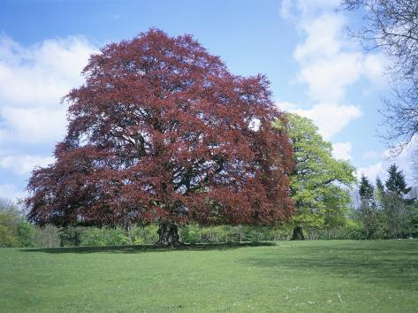 Copper Beech Tree Croft Castle Herefordshire England United Kingdom Photographic Print By David Hunter At Allposters