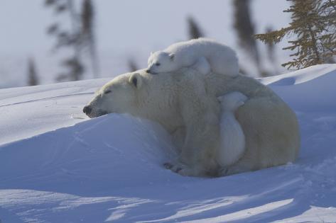 Polar Bear (Ursus Maritimus) and Cubs, Wapusk National Park, Churchill, Hudson Bay, Canada Photographic Print