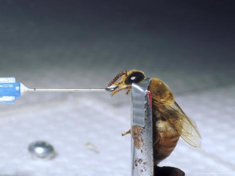 Feeding Response, Drone Bee Photographic Print