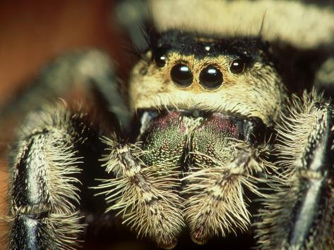 Jumping Spider, Phidippus Audax Florida, Ocala National Forest Photographic Print