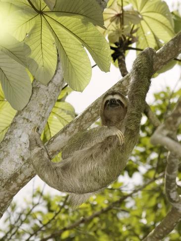 Three-Toed Sloth, Quepos, Costa Rica Photographic Print