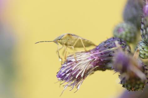 Green Shield Bug, Palomena Prasina, Thistle, Sitting, Side View Photographic Print