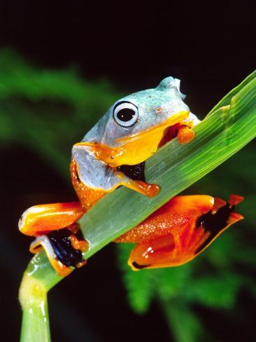 Blue Webbed Gliding Frog, Native to New Guinea Photographic Print