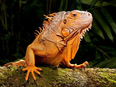 Green Iguana, Iguana Iguana, Native to Mexico and Central America Photographic Print
