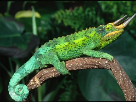 Jackson's Chameleon, Native to Eastern Africa Photographic Print