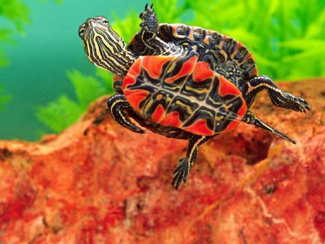 Red Belly Turtle Hatchling, Native to Southern USA Photographic Print
