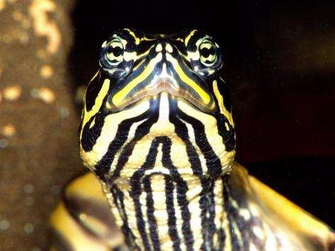 Red Belly Turtle Portrait, Native to Southern USA Photographic Print
