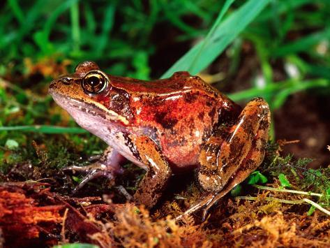 Red-legged Frog, Rana Aurora, Native to Pacific Coast, USA Photographic Print