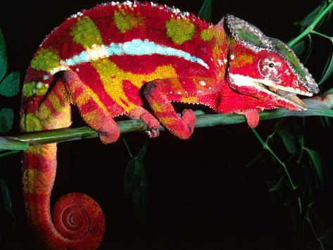 Red Phase Panther Chameleon, Native to Madagascar Photographic Print