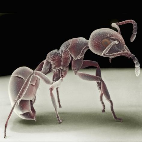 Side View of an Ant Photographic Print
