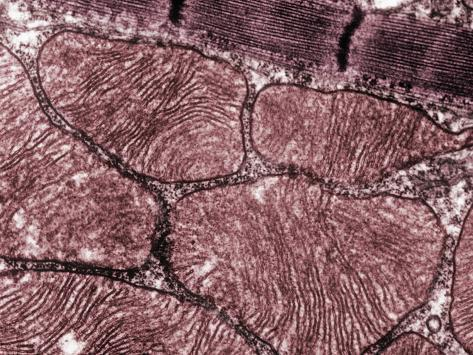 Skeletal Muscle Sarcomeres and Associated Mitochondria, TEM Photographic Print