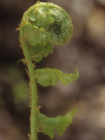 Fiddlehead of Southern Shield Fern, Dryopteris Ludoviciana, Eastern USA Stampa fotografica