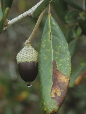 Sand Live Oak Leaf and Acorn, Quercus Geminata, Eastern North America Stampa fotografica