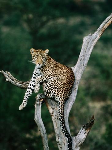 Leopard (Panthera Pardus) in Tree, Looking at Camera, Samburu National Reserve, Kenya Photographic Print