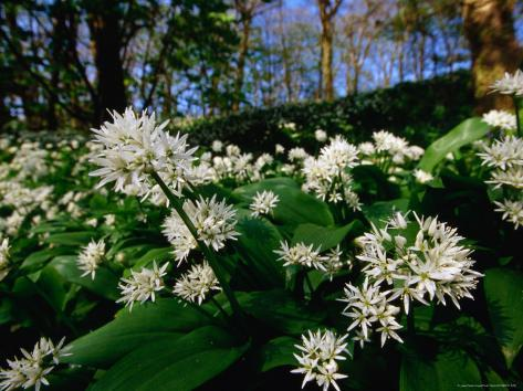Ramsons (Wild Garlic) at Stackpole Estate in May, Pembrokeshire Coast National Park, United Kingdom Photographic Print