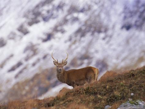 Red Deer Stag in the Highlands in February, Highland Region, Scotland, UK, Europe Photographic Print