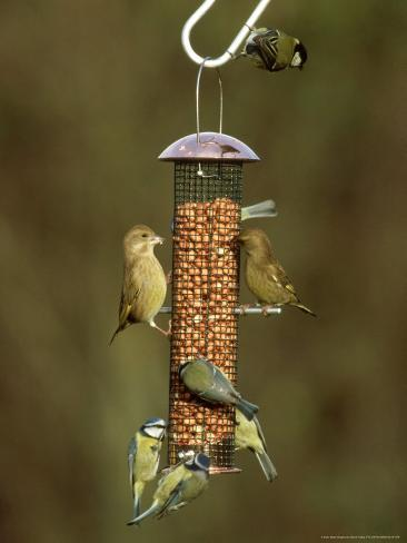 Tits and Other Garden Birds on Feeder, Winter Photographic Print