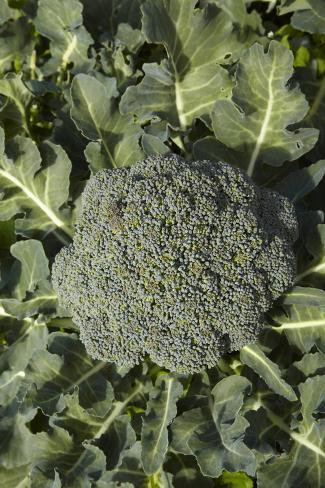 Broccoli Growing in the Garden Photographic Print