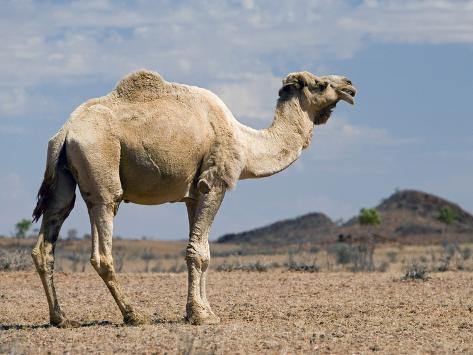 Camel Near Stuart Highway, Outback, Northern Territory, Australia Photographic Print