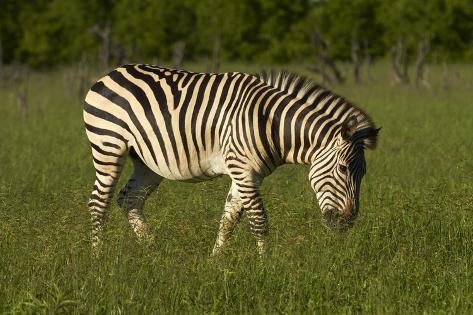 Chapman's zebra, Hwange National Park, Zimbabwe, Africa Photographic Print