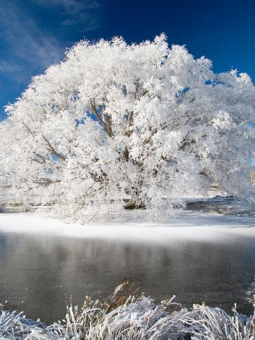 Hoar Frost on Willow Tree, near Omakau, Central Otago, South Island, New Zealand Photographic Print