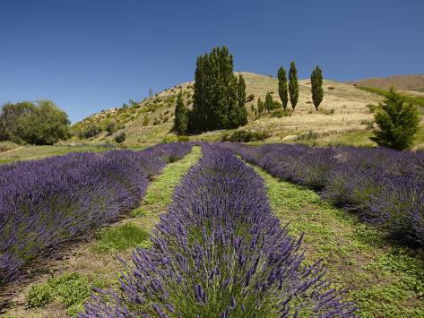 Lavender Farm, Near Cromwell, Central Otago, South Island, New Zealand Photographic Print
