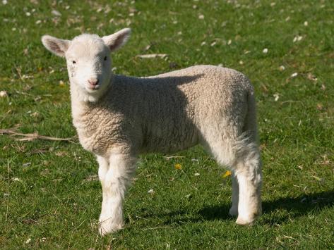 New Lamb, South Island, New Zealand Photographic Print