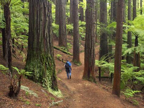 Redwood Forest, Rotorua, New Zealand Photographic Print