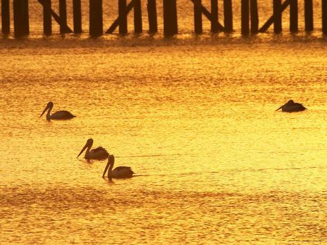 Sunrise and Pelicans by Urangan Pier, Hervey Bay, Queensland, Australia Photographic Print